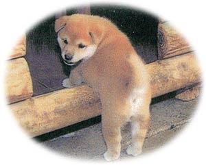 柴犬趣味の里|那珂川市商工会 ももちゃんネット